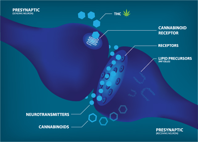 CBD and the Endogenous Cannabinoid System – Part 2
