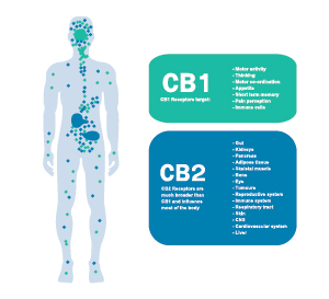 CBD and the Endogenous Cannabinoid System – Part 1